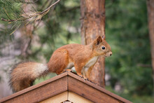 Little Red Squirrel On The Roof Of A Wooden Feeder.