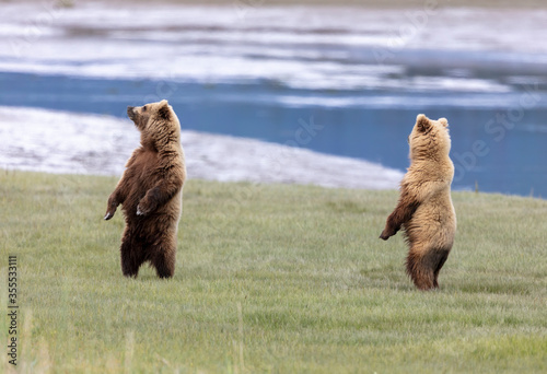 Two coastal brown bears standing on hind legs Wallpaper Mural
