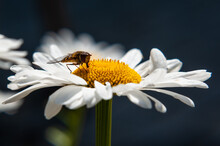 Chamomile And Bee In A Summer...