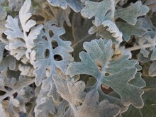 Frost On Leaf