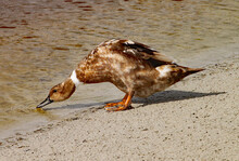 Brown Duck Searches For For Fo...