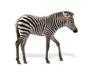 Baby Plains Zebra Isolated
