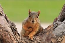 Portrait Of Fox Squirrel (Sciu...