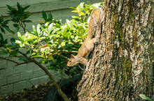Grey Squirrel Climbing Down Tree In Local Neighborhood In Acworth Georgias.