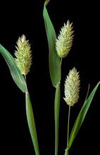 Canary Grass (Phalaris Canarie...