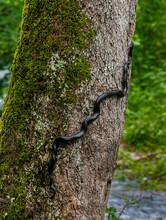 Eastern, Or Black, Rat Snake (...