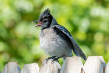 Young Blue Jay Puffing His Feathers