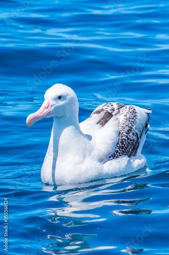 Photo Southern royal albatross near Kaikoura, New Zealand