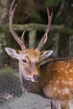 Feeding Sika Deer, Spotted Deer, In Nara, Japan
