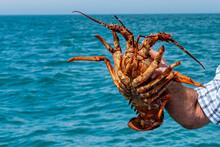 Freshly Caught Crayfish At Ban...