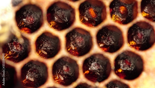 Photo Honey bee eggs macro