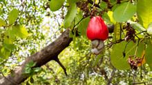 Cashew Fruit Ripe On The Tree.