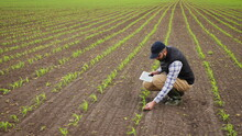 Farmer Uses Digital Tablet To Inspect Young Green Corn Plants In Cultivated Field Growth