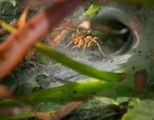 A Grass Funnel Spider Agelenid...