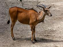 Common Eland Female Antelope In The Enclosure. Latin Name - Taurotragus Oryx