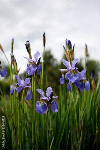 Fototapeta blue iris obraz na płótnie