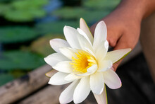 White Water Lily. National Flo...