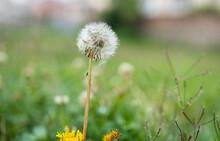 Dandelion Puff In Closeup Agai...