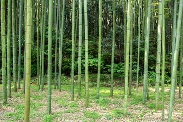 日本の京都の美しい竹林