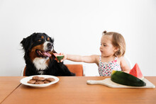 Young Child Feeding Watermelon To Bernese Mountain Dog