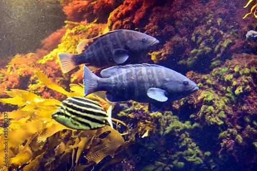 Fototapeta 二匹で仲良く泳ぐ大きなマハタの姿