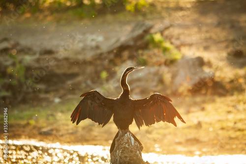 Fotografia, Obraz African darter drying its wings