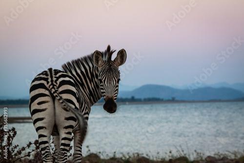 Photo zebras in the wild