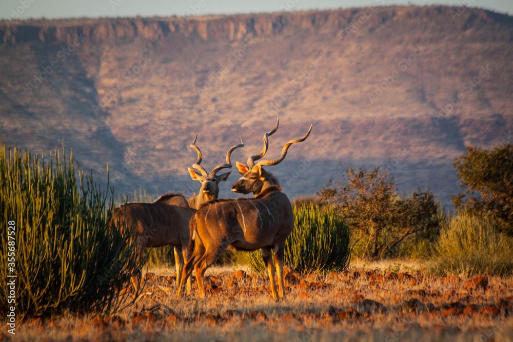 Fototapeta Kudu in the wild