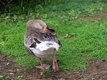 A Goose Sleeping In A Garden.