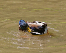 Colorful Mallard Duck Cleaning Itself