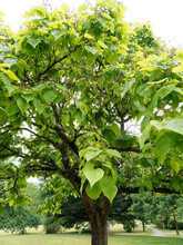 Catalpa Bignonioides Or Southern Catalpa, Ornamental Tree With A Short Trunk, Light Brown Bark, Long And Straggling Branches Which Form A Broad Head Covered With Large Green Leaves
