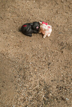 Two Pigs Sit On The Sand. Blac...