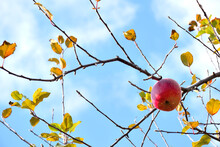 Apple Tree - Malus Pumila. It ...