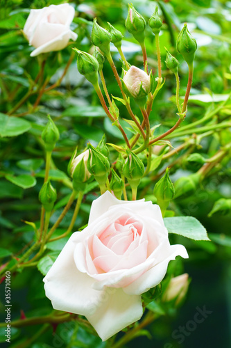 Pale pink flower of the New Dawn climbing rose