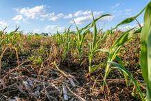 Ground Level Row Of Field Corn...