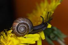 An Ordinary Earthen Garden Snail Crawls Over A Blooming Yellow Dandelion Flower, A European Snail Known As Cornu Aspersum. Macro Close Up