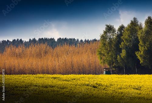 Rzepaki ,kwiaty,kwitnąć,wiosna,las,niebo,błękit,obłoki, wieś,rolnictwo,plon,brzo Canvas