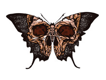 Greater Death's Head Hawkmoth....