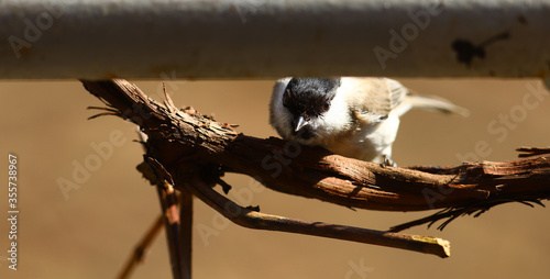 Photo Coal tit hid in an ambush, behind a trumpet,   on a blurry brown background