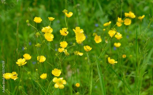 Ranunculus acris or buttercups Canvas Print