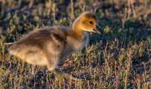 An Adorable Canada Goose Gosling On A Summer Morning
