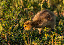 A Curious Canada Goose Gosling On A Spring Morning