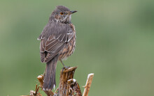 A Sage Thrasher Perched On A P...