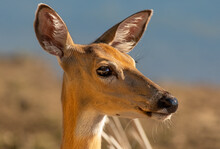 White-tailed Deer Profile