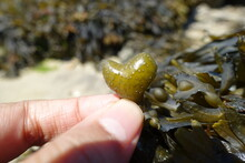 Heart Shaped Seaweeds