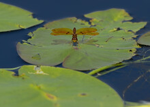 Eastern Amberwing Dragonfly, P...