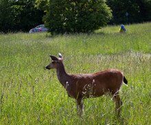 A Deer Walks Calmly Amongst The Wild Grasses In Beacon Hill Park. Victoria, British Columbia Canada