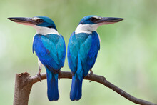 White Collared Kingfishers In ...