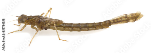 Fotografie, Obraz Damselfly, Zygoptera nymph isolated on white background, these aquatic insects a