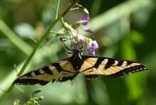 A Western Tiger Swallowtail Bu...